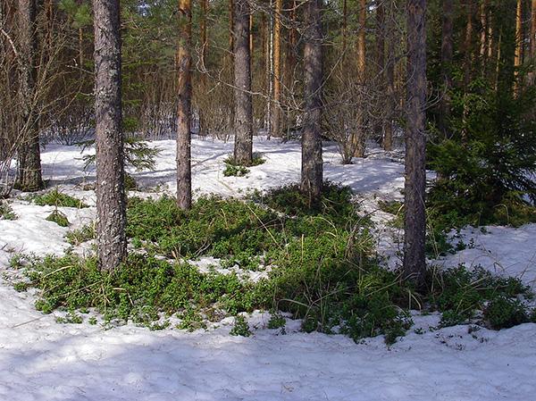 عندما يذوب الثلج وتظهر أول ذوبان في الغابة ، تبدأ السوس بالفعل نشاطها.