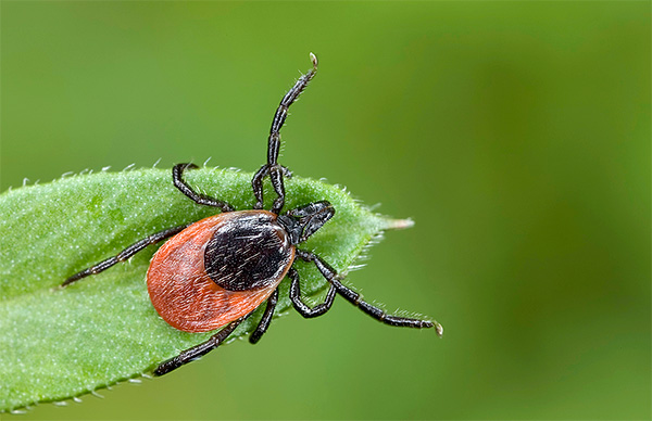 On the stages of development (life cycle) of Ixodes ticks ...
