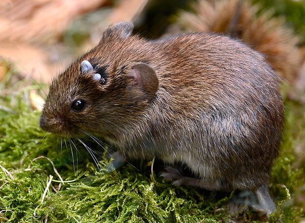 An important factor in maintaining the outbreak of borreliosis and tick-borne encephalitis is the population of small rodents in the territory.