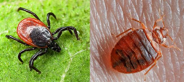 تظهر الصورة بوضوح الفرق القوي بين العث وحشرة الفراش.