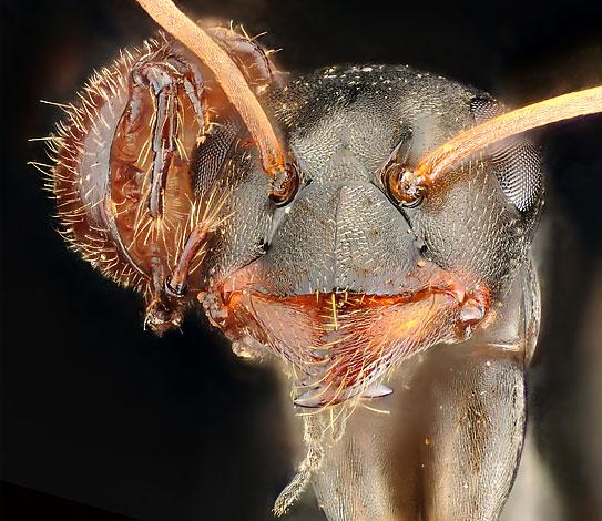 العث ، استقر على رأس نملة ويأخذ من قطع الطعام المضيف.