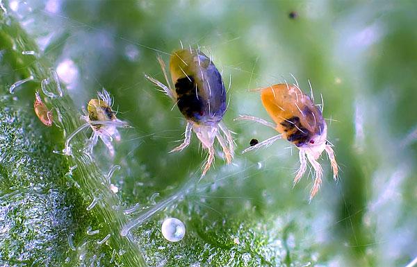 جميع مراحل تطور سوس العنكبوت في صورة واحدة هي بيضة (أدناه) ، ثم من اليسار إلى اليمين: يرقة ، حورية ، شخصان بالغان.