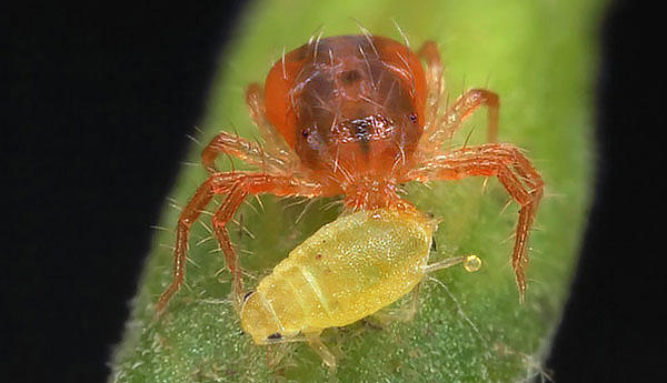 بالإضافة إلى سوس العنكبوت ، يمكن أن يأكل النبات النباتي المن ، يرقات coccid والآفات الزراعية الأخرى.