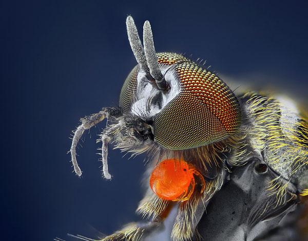 يرقات الكارتل الصغير على جسم المالك - الفتيات ذبابة الزهور.