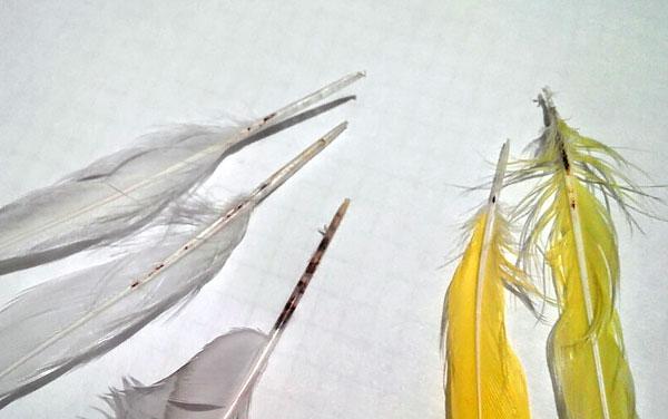 عادة لا تسبب عث الريش ضررًا كبيرًا ، لأنه عندما تتكاثر الطيور ، فإنها تفقد الريش معها.