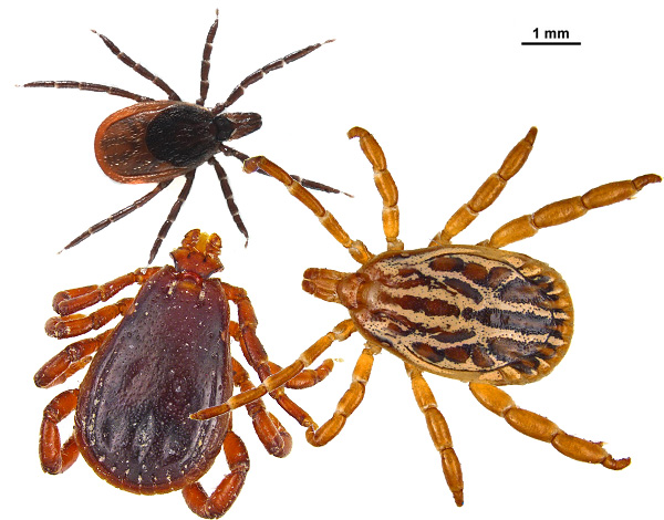 We meet with representatives of the family of ixodid ticks ...