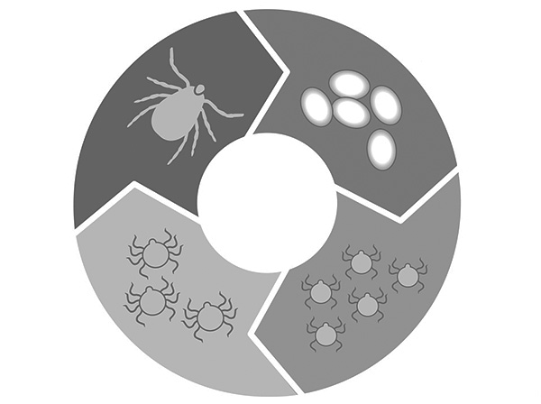 The picture shows schematically the life cycle of ixodid ticks.