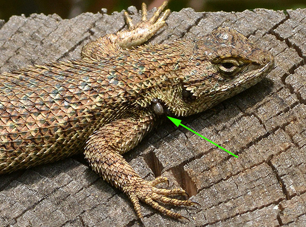 Ixodides are quite capable of feeding on lizards and frogs.