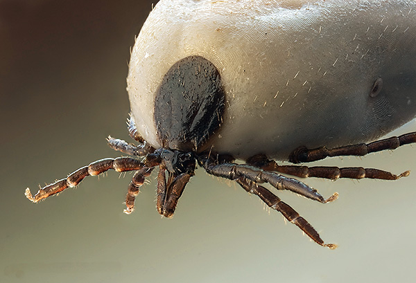 The female tick, drunk of blood - her proboscis is clearly visible.