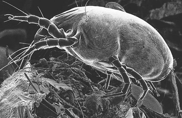 Dermatophagoides pteronyssinus (foto gemaakt met behulp van een scanning-elektronenmicroscoop).