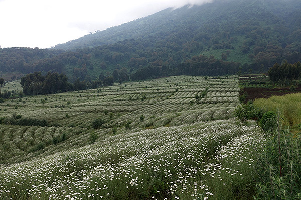 De natuurlijke insecticiden van pyrethrines zijn te vinden in de bloemen van sommige soorten madeliefjes.