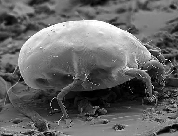 Dermatophagoides pteronyssinus