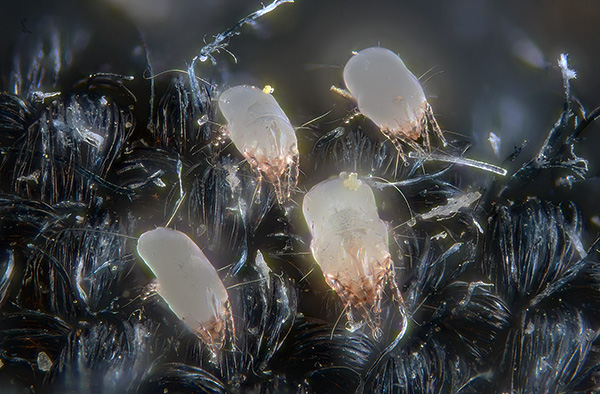 The excreta of dust mites contain digestive enzymes that are strong allergens for humans.