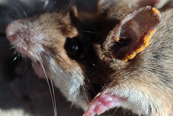 اليرقات الحمراء على الأذن من القوارض.