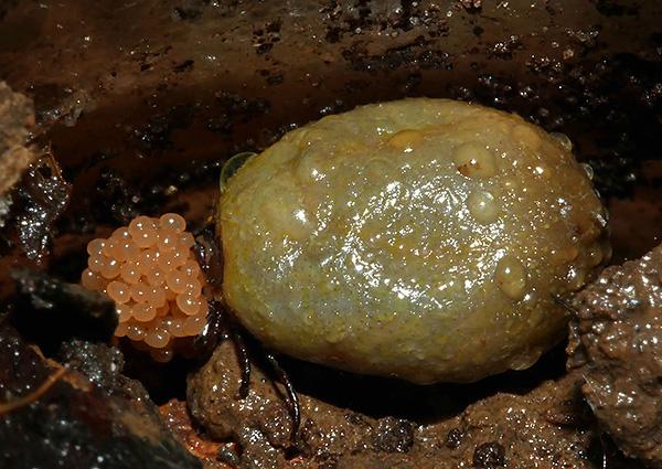 تضع سوس الأنثى الدغدغة بيضها في أرضية غابية رطبة.