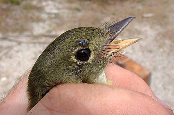 تتغذى يرقات Ixodes ricinus بنشاط على الطيور والقوارض الصغيرة.