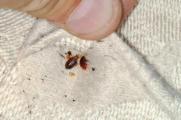 غالبًا ما يختبئ حشرات الفراش في طيات المراتب ، حيث يزحفون خارج الأكواخ ليصطادوا في الليل.