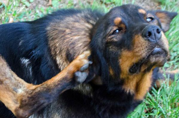 إذا تركت دون علاج ، يمكن أن تؤدي إلى otodectes في نهاية المطاف إلى وفاة كلب