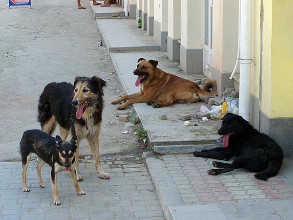 في كثير من الأحيان ، يحدث القراد عند اتصال الكلاب الضالة الحيوانات.
