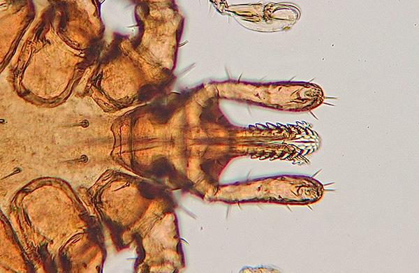 الأعضاء عن طريق الفم من القراد تحت المجهر