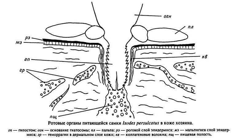 الأعضاء الفموية لتغذية أنثى Ixodes persulcatus