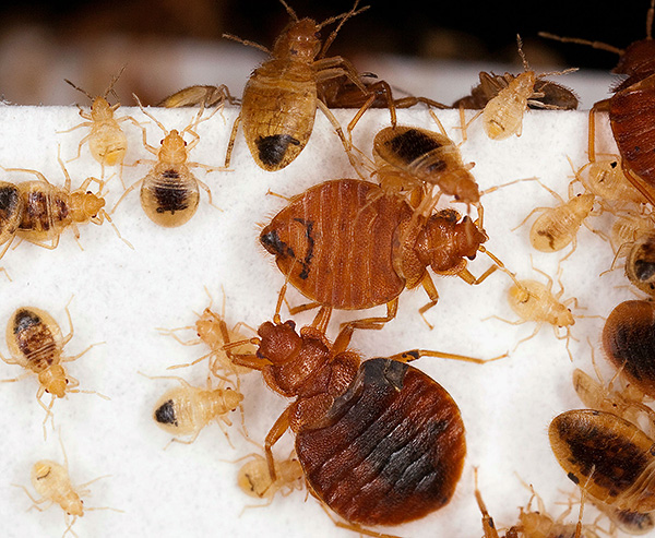 Larvae and adult bed bugs