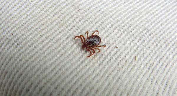 Ticks do not bite through clothing.
