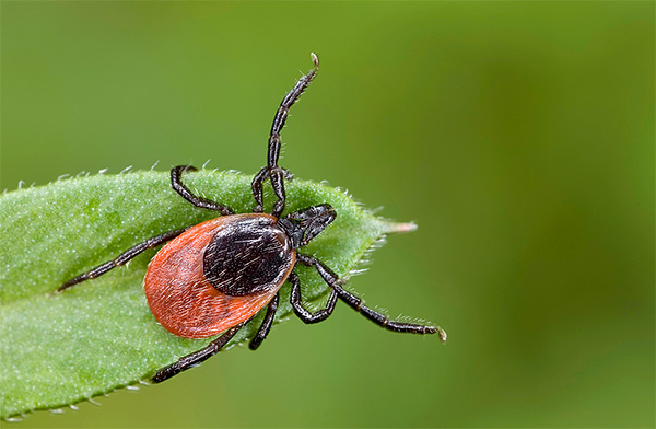 The photo shows a tick waiting for its victim.