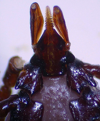 The photo clearly shows the jagged proboscis of the parasite.