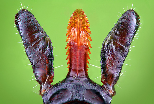 The hypostoma tick is held in the skin like a harpoon.