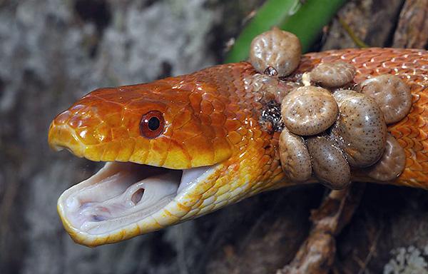 Ticks on the snake.