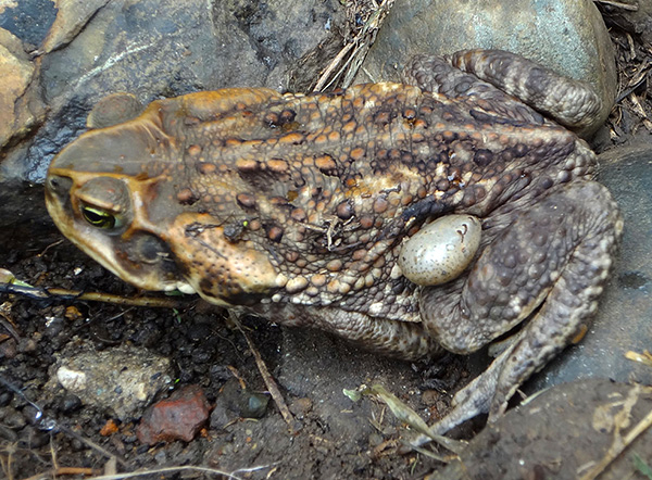 Ixodides can parasitize also on toads and frogs.